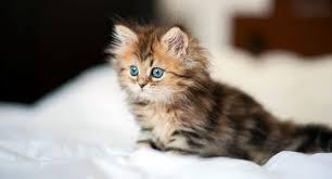 gatti persiani bianchi gatto persiano variet罌 carattere e caratteristiche dei gatti persiani