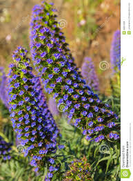 Madeira Flowers - echium candicans pride of madeira purple flowers royalty free