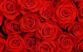 wallpaper flower red rose red flower wallpaper widescreen natures wallpapers pinterest