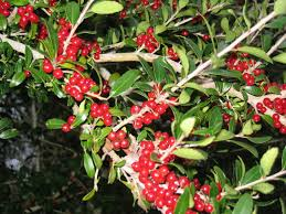 native louisiana plants plants north carolina native plant society