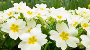 beautiful white flower at garden flowers wallpaper hd phone