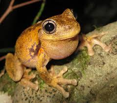 peron u0027s tree frog wikipedia