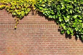 how to get rid of ivy with white vinegar home guides sf gate