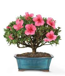 mothers day plants blooming azalea bonsai 8 inch at from you flowers