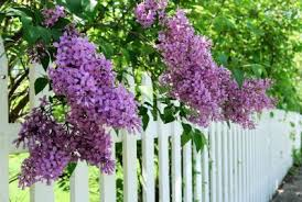 Fragrant Flowers For Garden - scented garden flowers choosing plants that smell good