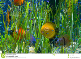 Tropical Aquatic Plants - planted tropical aquarium with fishes royalty free stock image