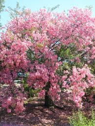 pink flower tree trees of los angeles los angeles affair