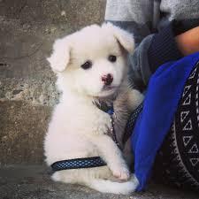 american eskimo dog michigan kilo the eskie album on imgur