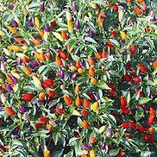tricolore garda ornamental pepper reviews seedratings