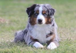 buy a australian shepherd southern charm mini aussies winston ga 30187