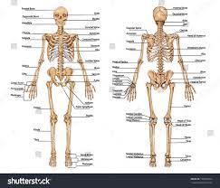 Anatomy Of The Calcaneus Human Skeleton Posterior Anterior View Didactic Stock Vector