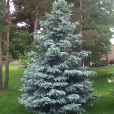 living christmas trees roger u0027s gardens