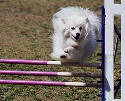 american eskimo dog puppies near me american eskimo dog history u0026 training temperament