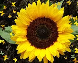 foto wallpaper bunga matahari wallpaper foto dan gambar bunga cantik untuk laptop sunflowers