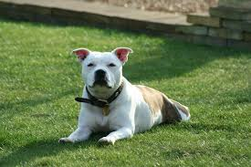 american pitbull terrier in uk do staffordshire bull terriers make good pets for families