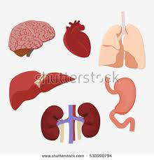 Human Anatomy Liver And Kidneys Human Internal Organs Medicine Anatomy Medical Stock Vector