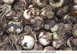 lily bulbs stock images royalty free images u0026 vectors shutterstock