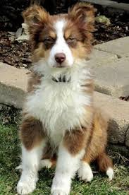 australian shepherd weiner dog mix everette the aussie hey you talkin to me this guy is my favorite