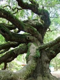 the oak tree johns island south carolina atlas obscura