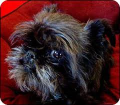 affenpinscher adults for sale macy kay adoption pending adopted dog lemont il