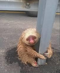 Bicho-preguiça é encontrado agarrado em barra de proteção no ...