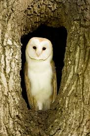 barn owl in tree holkham norfolk mallett
