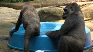 gorillas beat the heat cincinnati zoo youtube