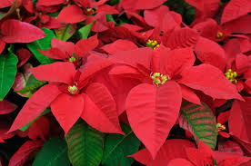 christmas plant poinsettia ferns n petals official