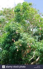 mango tree full of fruit in backyard garden kauai hawaii stock