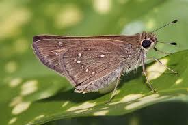 skipper butterfly wikipedia