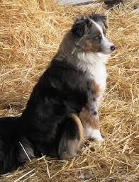 australian shepherd look alike best 20 toy aussie ideas on pinterest aussie puppies toy
