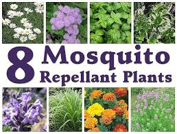 mosquito plants 8 mosquito repellent plants mother s home