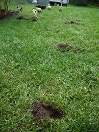 Raccoons In Backyard Vwvortex Com Raccoons Digging Holes In My Backyard