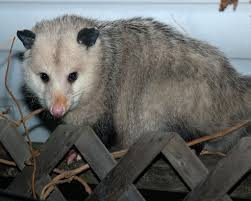 the world u0027s best photos of critter and possum flickr hive mind