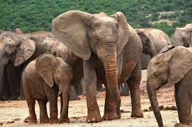 free photo herd of elephants elephant animals max pixel
