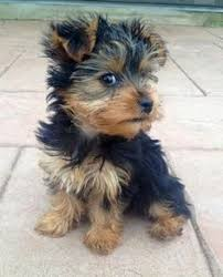 here are some images that you can get idea about yorkie hairstyles