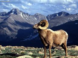 rocky mountain national park wallpapers animals big horn ram rocky mountain national park colorado