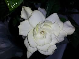 Gardenias by In Love With Gardenias U2013 Joanne Jamis Cain
