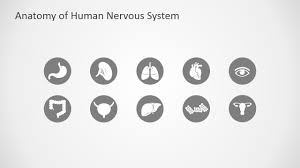 Nervous System Human Anatomy Anatomy Of Human Nervous System Slide Design For Powerpoint