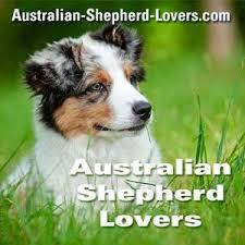 australian shepherd quotes australian shepherd breeders directory