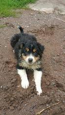 australian shepherd border collie view ad border aussie puppy for sale minnesota jordan usa