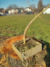 bonsai saule pleureur clip n u0027 grow sur saule pleureur trucs et techniques forums