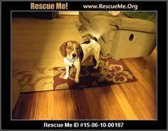 bluetick coonhound rescue georgia potomac md labrador retriever bluetick coonhound mix meet