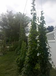 guest post u2013 growing hops for self sufficiency in brewing the