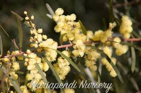 native plants in australia creating sustainable windbreaks native plant and revegetation