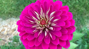 zinnia flower 10 reasons zinnias are a must in every garden