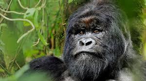 Gorilla by Gorilla Trekking Uganda U0026 Rwanda Natural World Safaris