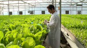 Hydroponics Vegetable Gardening by Hydroponic Lettuce Greenhouse Factory Automated Youtube