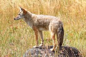 Can Coyotes See Red Light California Coyote Hunting Seasons Laws And Hunting Locations