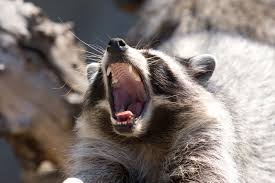 identification of raccoons what does a raccoon look like